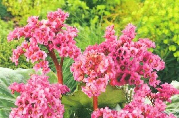 BERGENIA CORDIFOLIA WINTERGLUT C2BIO «PLANTE DU SAVETIER»